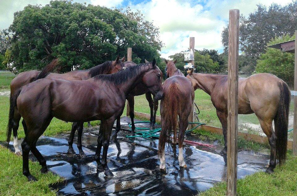 Group of Horses in the shower